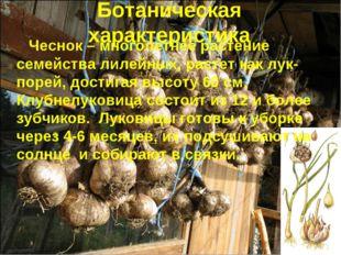 Ботаническая характеристика Чеснок – многолетнее растение семейства лилейных,
