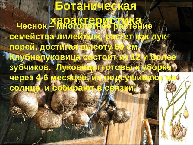 Ботаническая характеристика Чеснок – многолетнее растение семейства лилейных,...
