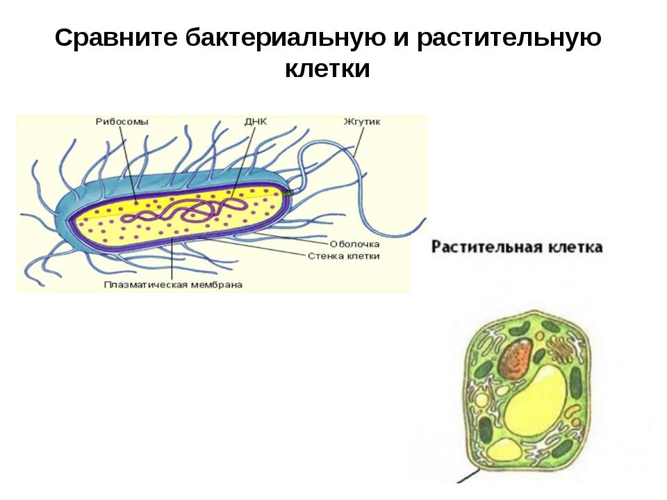 Сравните бактериальную и растительную клетки