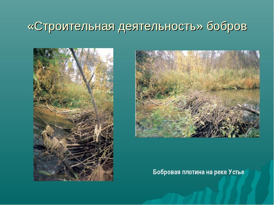 «Строительная деятельность» бобров Бобровая плотина на реке Устье
