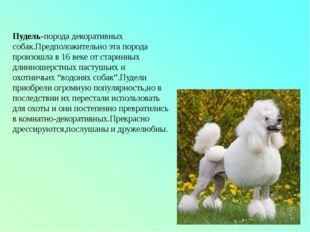 Пудель-порода декоративных собак.Предположительно эта порода произошла в 16
