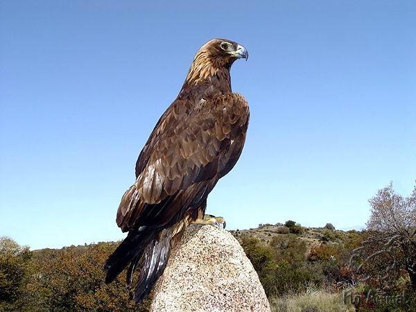 Фото . . Беркут - Дикие птицы. Виды диких птиц, фото и описание