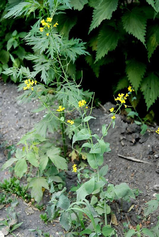 Изображение растения Brassica campestris.