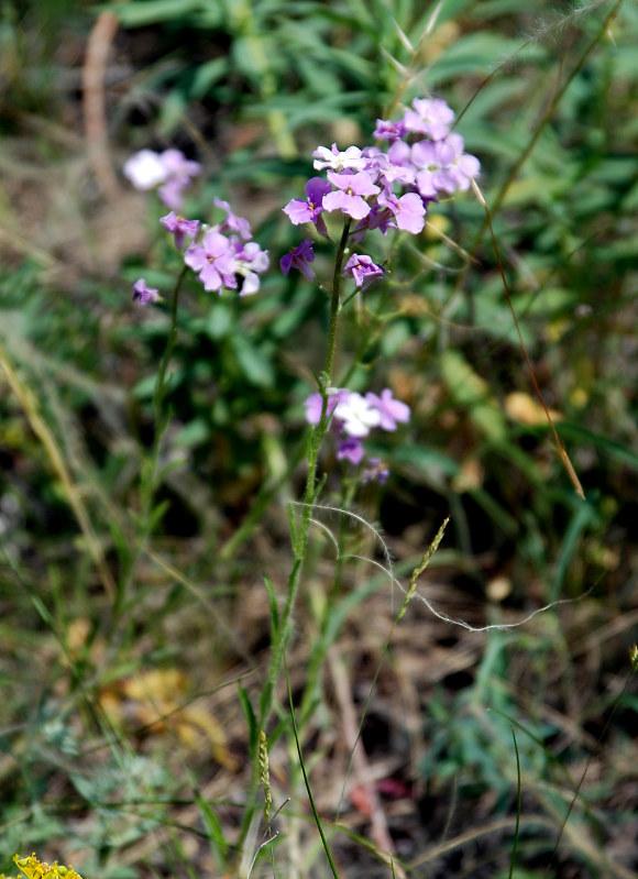 Изображение растения Clausia aprica.