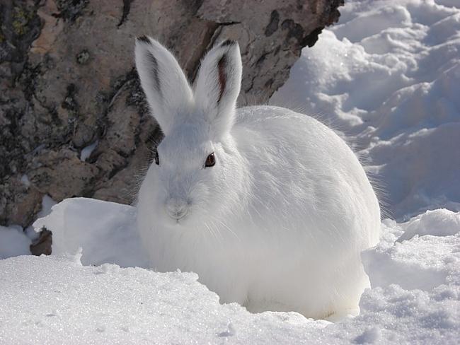 Ответы@Mail.Ru: Почему Заяц зимой -- белый.., а летом -- серый. А ещё говорят, что они большие Трусишки. Поведайте о--- Зайце?