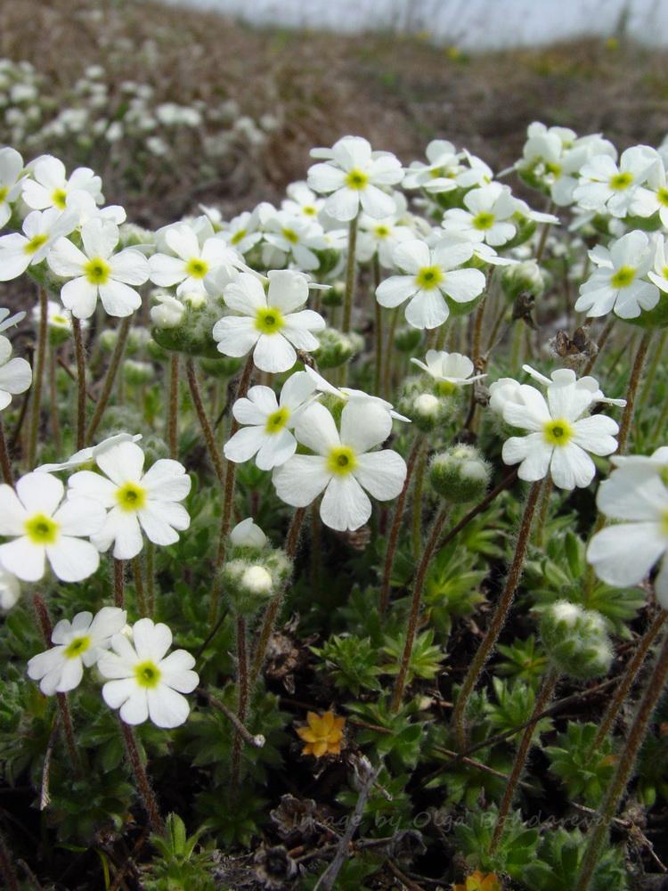 Изображение растения Androsace koso-poljanskii.