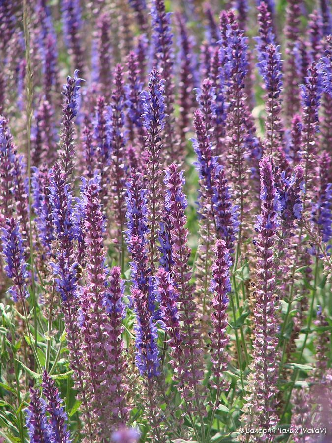 Изображение растения Salvia tesquicola.