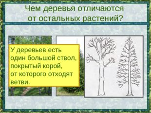 Чем деревья отличаются от остальных растений? У деревьев есть один большой ст