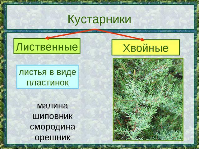 Кустарники Лиственные Хвойные листья в виде пластинок листья в виде хвоинок м...