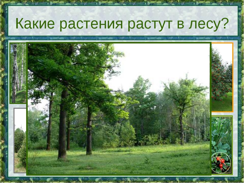 Какие растения растут в лесу?
