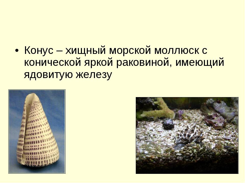Конус – хищный морской моллюск с конической яркой раковиной, имеющий ядовитую...
