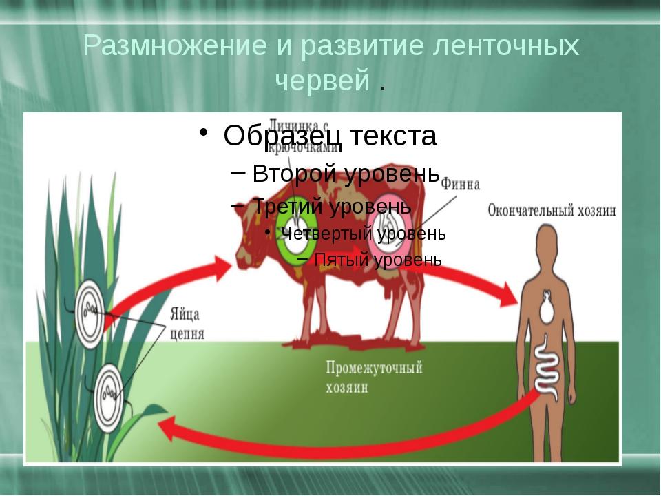Размножение и развитие ленточных червей .