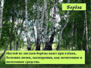 Настой из листьев берёзы пьют при отёках, болезнях почек, малокровии, как моч