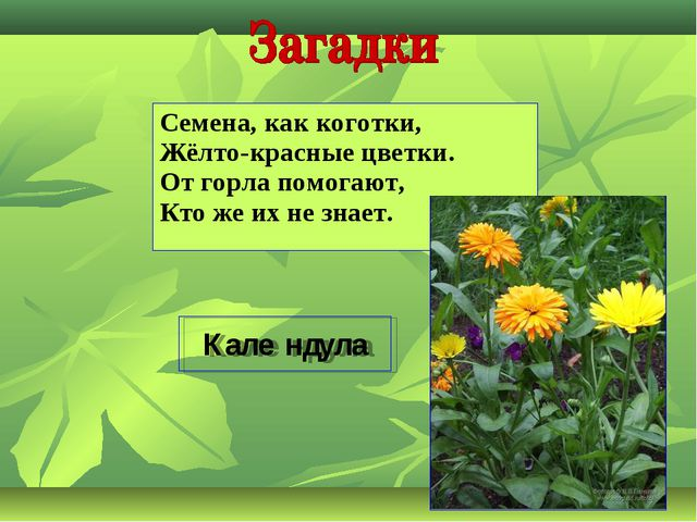 Семена, как коготки, Жёлто-красные цветки. От горла помогают, Кто же их не зн...