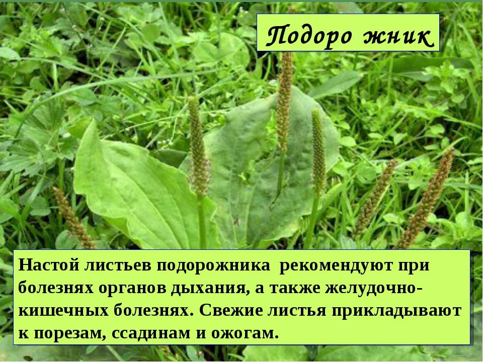 Подоро́жник Настой листьев подорожника рекомендуют при болезнях органов дыха...