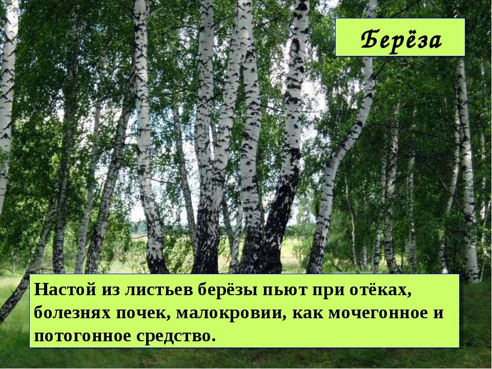 Настой из листьев берёзы пьют при отёках, болезнях почек, малокровии, как моч...