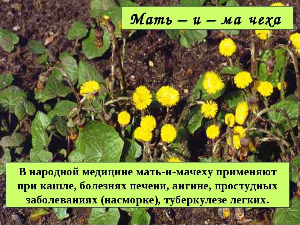 Мать – и – ма́чеха В народной медицине мать-и-мачеху применяют при кашле, бол...
