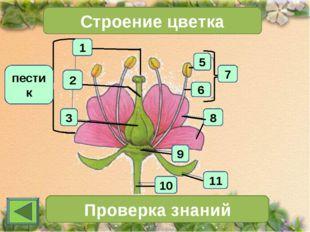 1 2 3 Строение цветка 7 Проверка знаний 11 10 6 5 8 9 пестик