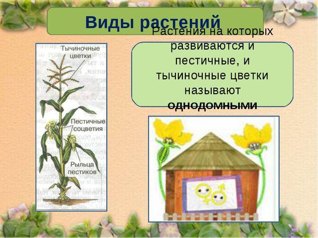 Виды растений Растения на которых развиваются и пестичные, и тычиночные цветк...