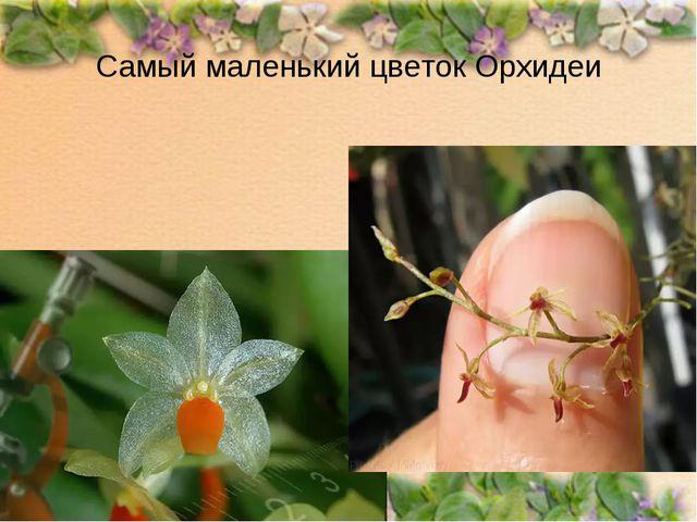 Самый маленький цветок Орхидеи