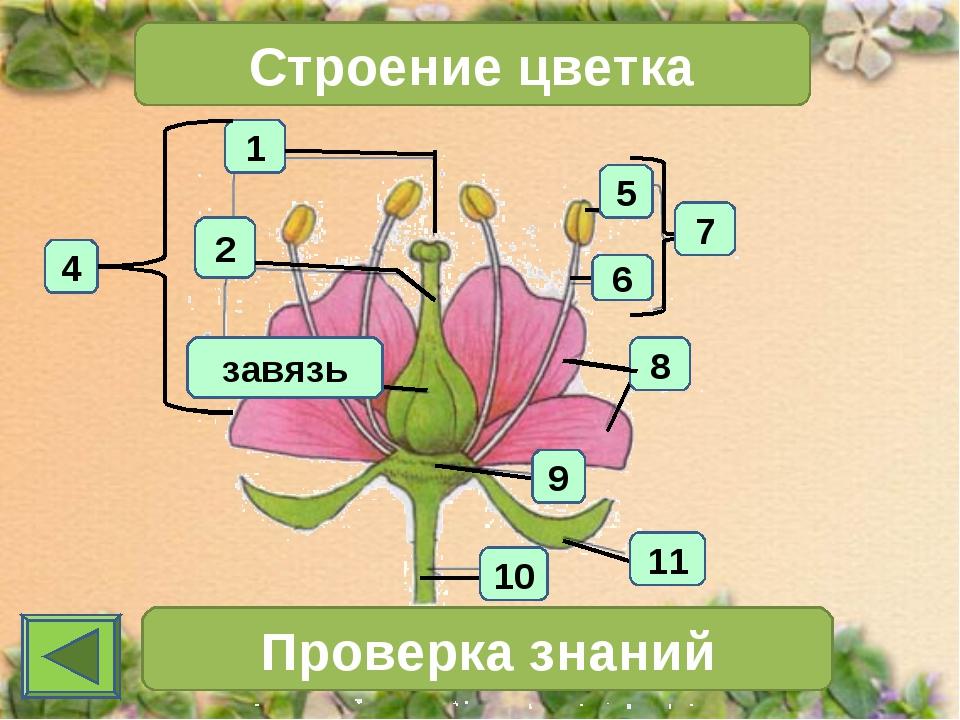 1 4 2 Строение цветка 7 Проверка знаний 11 10 6 5 8 9 завязь