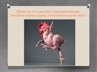Правда ли, что существует природное явление, способное ощипать курицу, не ост