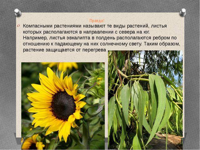Правда! Компасными растениями называют те виды растений, листья которых распо...