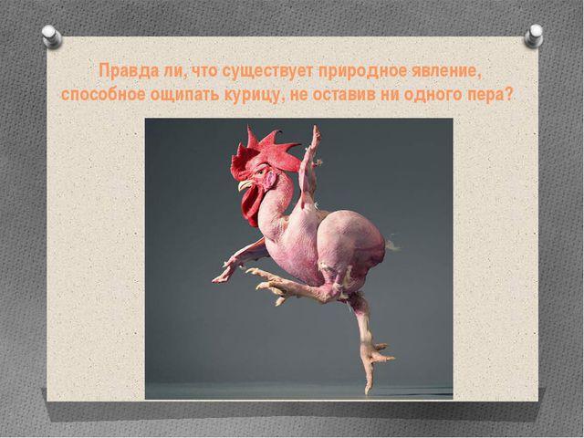 Правда ли, что существует природное явление, способное ощипать курицу, не ост...