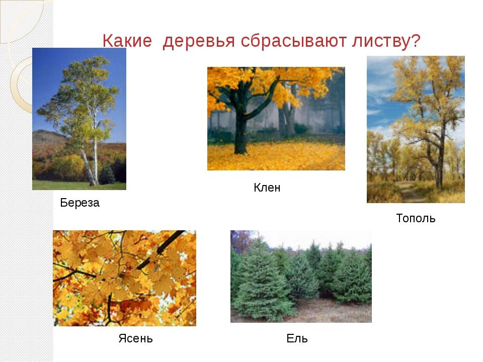 Какие деревья сбрасывают листву? Береза Клен Тополь Ясень Ель