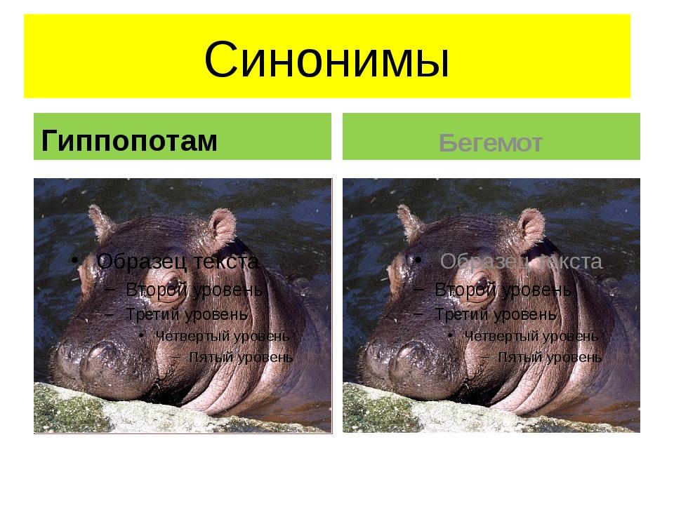 Синонимы Гиппопотам Бегемот