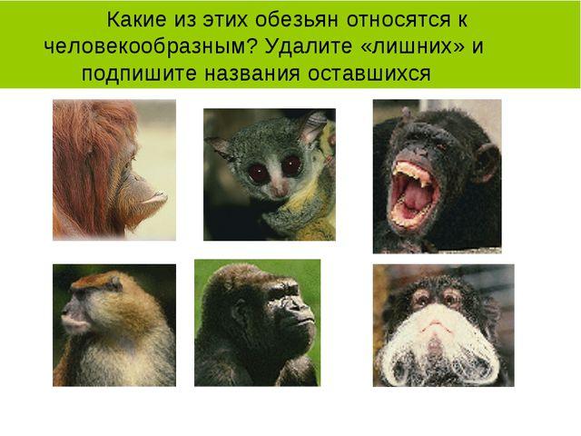 Какие из этих обезьян относятся к человекообразным? Удалите «лишних» и подпи...