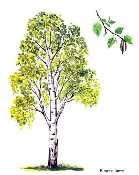 Изучаем деревья. Берёза - Babyblog.ru