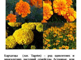 Цветы в нашем цветнике Бархатцы Бархатцы (лат. Tagetes) – род однолетних и мн
