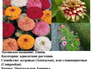 Цветы в нашем цветнике Цинния Латинское название:Zinnia. Категории:однолетн