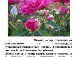 Цветы в нашем цветнике Пио́н(лат. Paeónia)—род травянистых многолетников