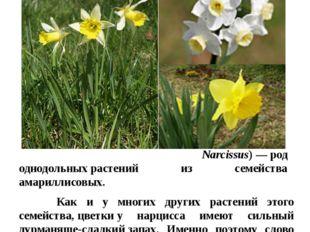Цветы в нашем цветнике Нарцисс Нарци́сс(лат. Narcissus)—род однодольныхра