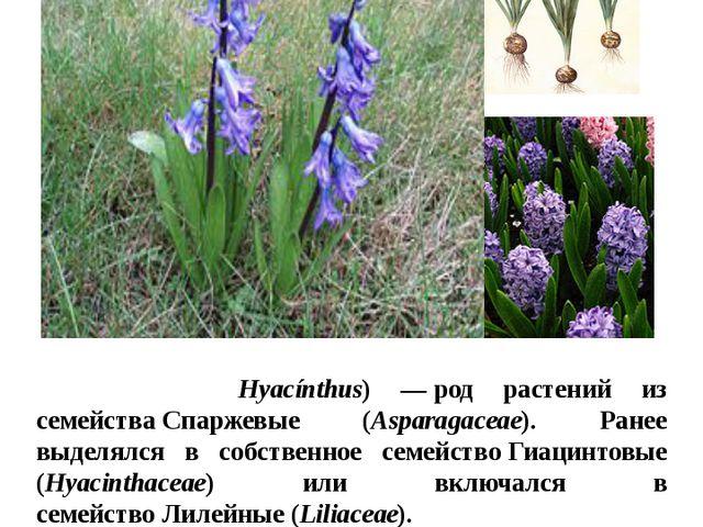 Цветы в нашем цветнике Гиацинт Гиаци́нт(лат. Hyacínthus) —род растений из с...