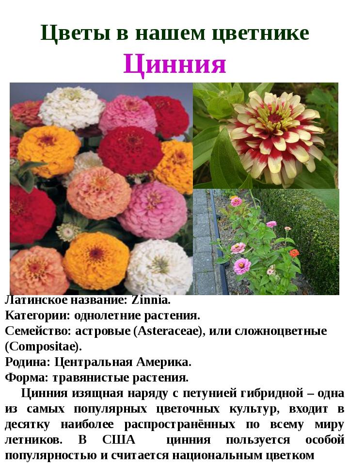 Цветы в нашем цветнике Цинния Латинское название:Zinnia. Категории:однолетн...