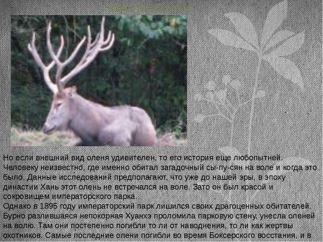 Уникальный олень Но если внешний вид оленя удивителен, то его история еще лю...
