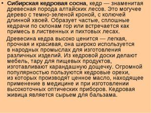 Сибирская кедровая сосна, кедр— знаменитая древесная порода алтайских лесов.