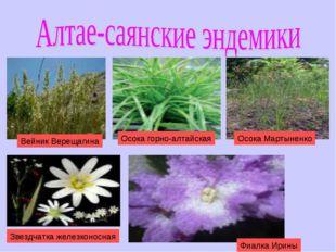 Фиалка Ирины Звездчатка железконосная Вейник Верещагина Осока горно-алтайская