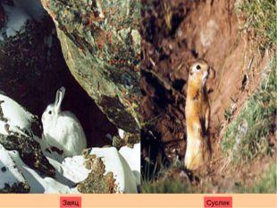 Заяц Суслик