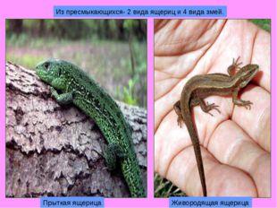 Из пресмыкающихся- 2 вида ящериц и 4 вида змей. Прыткая ящерица Живородящая я