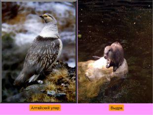 Алтайский улар Выдра