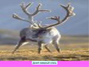 Дикий северный олень