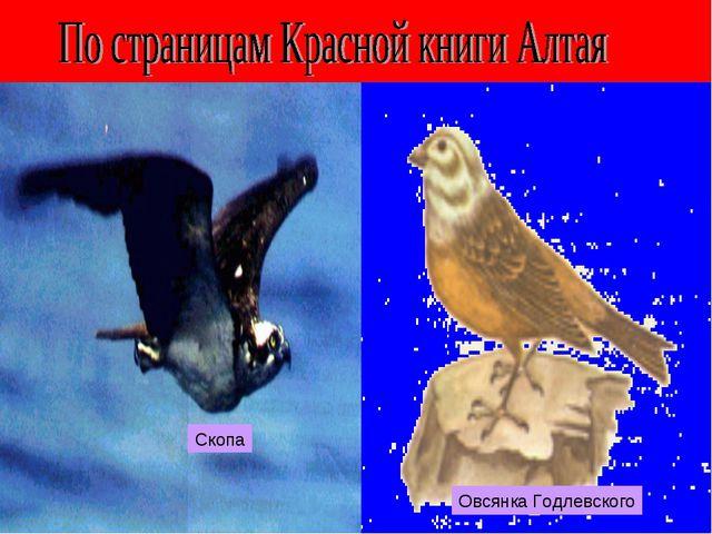 Скопа Овсянка Годлевского
