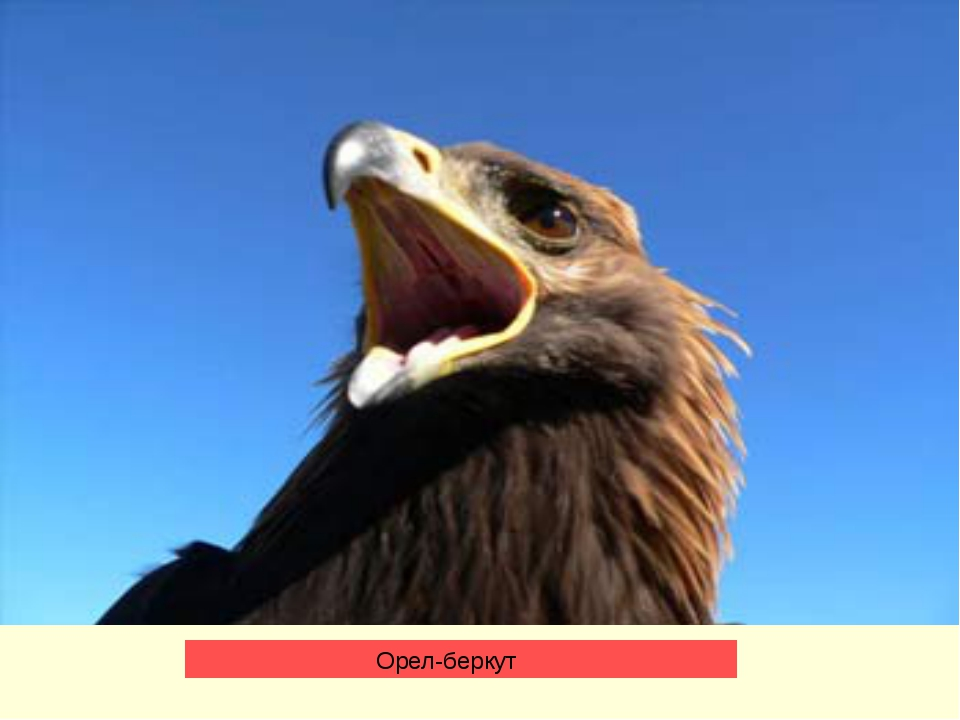 Орел-беркут