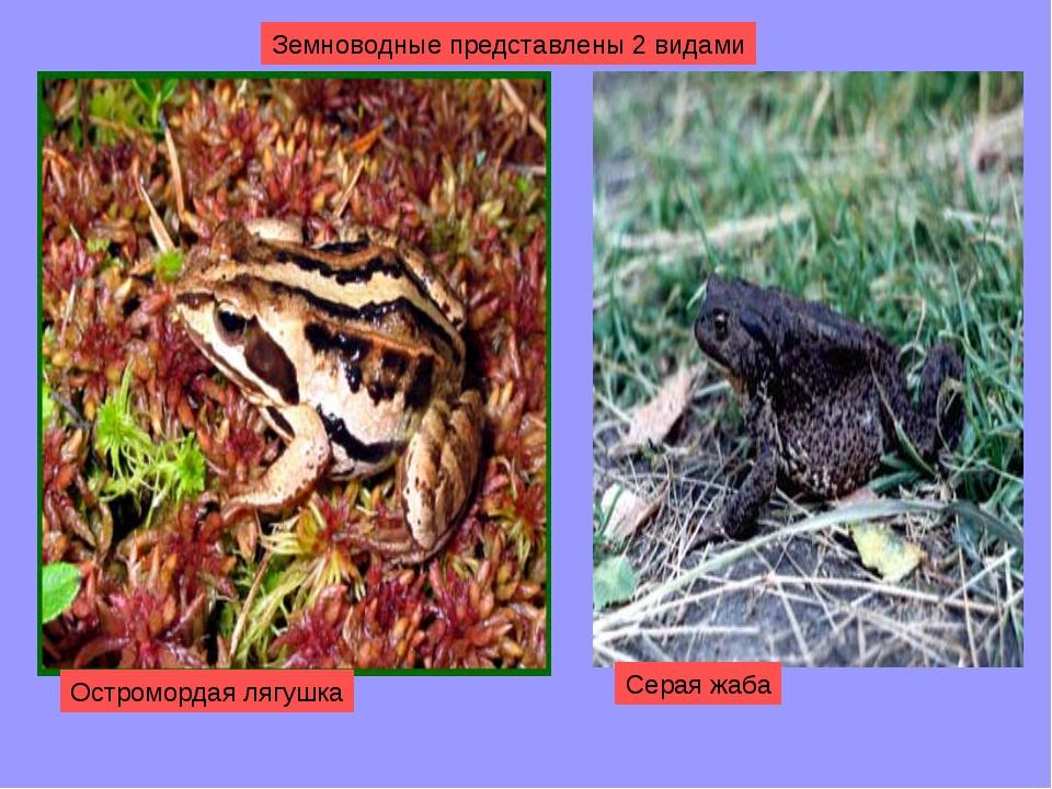 Земноводные представлены 2 видами Остромордая лягушка Серая жаба