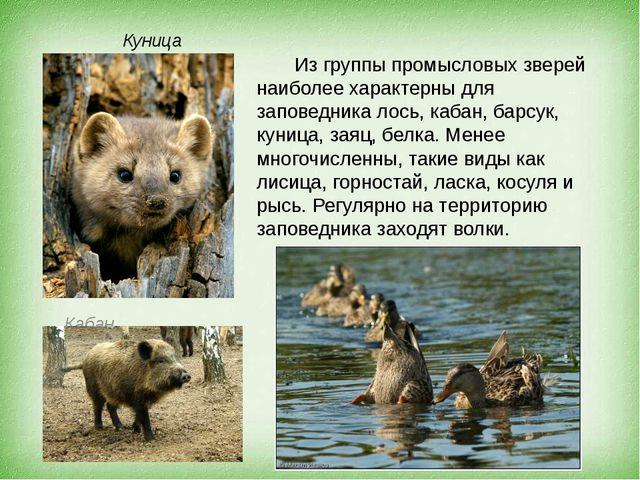 Куница Из группы промысловых зверей наиболее характерны для заповедника лось...