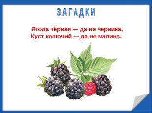 Ягода чёрная — да не черника, Куст колючий — да не малина.